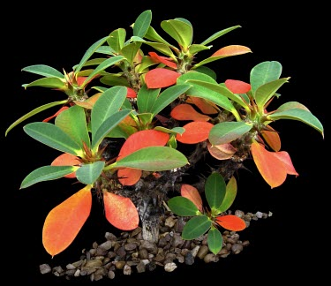 Euphorbia bulbispina Leaves,Survival Adaptations,Appendix II,Magnoliopsida,Photosynthetic,Euphorbiaceae,IUCN Red List,Terrestrial,bulbispina,Plantae,CITES,Tracheophyta,Africa,Euphorbia,Euphorbiales,Vulnerable,Rock