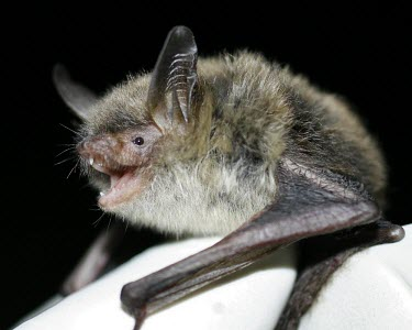 Northern long-eared bat Adult,Chiroptera,Bats,Mammalia,Mammals,Chordates,Chordata,Vespertilionidae,Vesper Bats,Flying,Carnivorous,Myotis,Forest,Terrestrial,Animalia,North America,Temperate,Near Threatened,IUCN Red List,Least