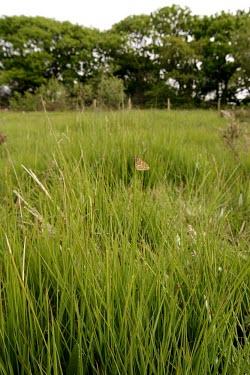 Marsh fritillary butterfly in its habitat Heathland,Insecta,Temperate,STAT_HD,Arthropoda,Asia,Lepidoptera,Euphydryas,Fluid-feeding,Wildlife and Conservation Act,Flying,Animalia,Europe,Nymphalidae