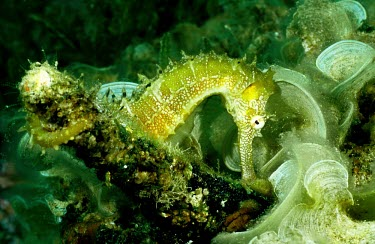 Male Jayakar's seahorse amongst algae Defence Behaviours,Survival Adaptations,Camouflage,Syngnathidae,Africa,Indian,Animalia,Hippocampus,Appendix II,Chordata,Asia,Aquatic,Coastal,Actinopterygii,jayakari,Syngnathiformes,Carnivorous,Data De
