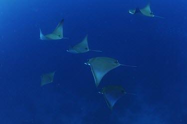 Shortfin devil rays swimming Adult,Locomotion,Indian,Marine,Ocean,Data Deficient,Aquatic,Coastal,Animalia,Africa,IUCN Red List,Mobulidae,Chordata,Rajiformes,Asia,Pacific,Carnivorous,Chondrichthyes,Atlantic,Mobula
