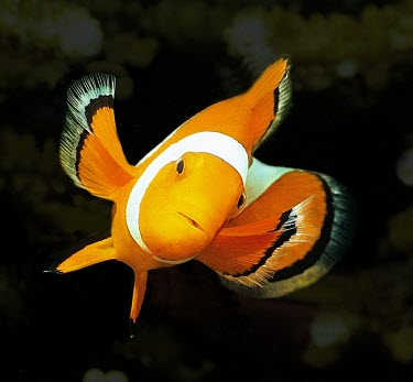 Common clownfish, front view Locomotion,Adult,Indian,Carnivorous,Marine,Pacific,Not Evaluated,Aquatic,Actinopterygii,Animalia,Coral reef,Pomacentridae,Amphiprion,Chordata,Perciformes