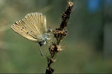 Piedmont anomalous blue laying eggs Endangered,Animalia,Polyommatus,IUCN Red List,Insecta,Flying,Terrestrial,Lepidoptera,Lycaenidae,Fluid-feeding,Arthropoda,Europe