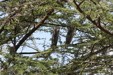 White-faced scops-owls showing camouflage behaviour Species in habitat shot,Defence behaviours,Camouflage,Survival Adaptations,Habitat,Adult,Africa,Least Concern,Aves,Otus,Flying,Forest,Strigiformes,Desert,Sub-tropical,CITES,Scrub,Terrestrial,Carnivoro