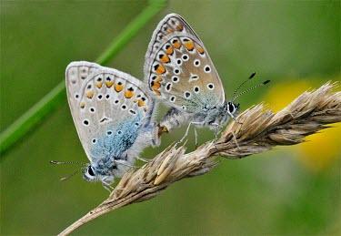 Pair of common blue butterflies mating Africa,Arthropoda,Flying,Lycaenidae,Lepidoptera,Animalia,Urban,Insecta,Herbivorous,Sand-dune,Europe,Fluid-feeding,Polyommatus,Temperate,Terrestrial,Asia,Common