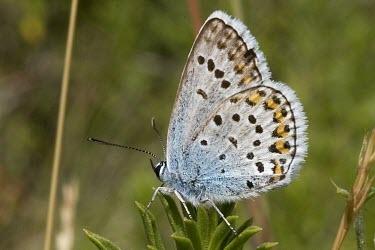 Alpine zephyr blue Animalia,Lepidoptera,Fluid-feeding,Plebejus,Forest,Grassland,Terrestrial,Near Threatened,Europe,Arthropoda,IUCN Red List,Lycaenidae,Insecta,Flying