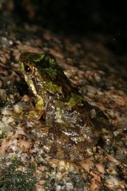 Eungella torrent frog, camouflaged against rock Camouflage,Survival Adaptations,Adult,Terrestrial,Chordata,IUCN Red List,Forest,Australia,Animalia,Critically Endangered,Myobatrachidae,Anura,Sub-tropical,Amphibia,Taudactylus,Fresh water,Streams and