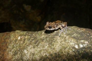 Grubby shrub frog sat on rock Adult,Rhacophoridae,Anura,Asia,Amphibia,Forest,Wetlands,Terrestrial,Aquatic,Chordata,IUCN Red List,Pseudophilautus,Animalia,Near Threatened,Sub-tropical
