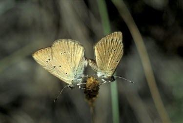 Piedmont anomalous blues mating Endangered,Animalia,Polyommatus,IUCN Red List,Insecta,Flying,Terrestrial,Lepidoptera,Lycaenidae,Fluid-feeding,Arthropoda,Europe