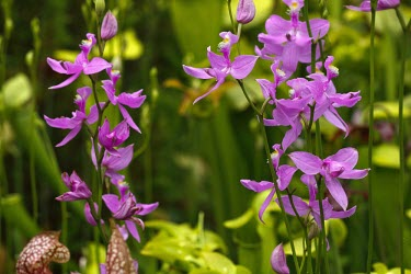 Grass pink orchid Flower,Asparagales,Monocots,Liliopsida,Orchid Family,Orchidaceae,Magnoliophyta,Flowering Plants,Plantae,Calopogon,Not Evaluated,Terrestrial,North America,Tracheophyta,Photosynthetic