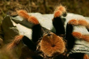 Mexican rustleg tarantula, showing carapace Scrub,Brachypelma,Arachnida,Animalia,Terrestrial,Theraphosidae,Appendix II,Araneae,South America,Arthropoda,Carnivorous