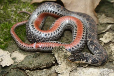 Kirtland's snake revealing characteristic red ventral colouration Adult,Aquatic,Natricidae,Animalia,Chordata,Wetlands,Terrestrial,Near Threatened,Brackish,Streams and rivers,Clonophis,Grassland,Urban,Salt marsh,Ponds and lakes,IUCN Red List,Forest,Riparian,Reptilia,