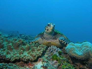 Hawksbill turtle at rest Species in habitat shot,Marine,Adult,Coral Reefs,Habitat,How does it live ?,Eretmochelys,Animalia,imbricata,Testudines,Carnivorous,Coral reef,Cheloniidae,Terrestrial,Reptilia,Appendix I,Chordata,Coast