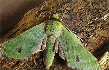 Fabulous green sphinx moth, dorsal view Sphingidae,Animalia,Tinostoma,Arthropoda,Forest,smaragditis,Flying,Endangered,Lepidoptera,North America,Insecta,IUCN Red List