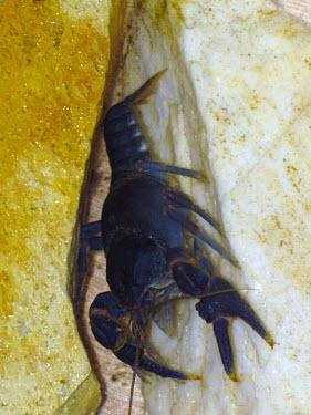 Cambarus harti Crayfishes,Cambaridae,Decapoda,Crayfish, Lobsters, Crabs,Arthropoda,Arthropods,Malacostracans,Malacostraca,Endangered,Animalia,Aquatic,Crustacea,Fresh water,Cambarus,North America,IUCN Red List