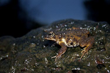 Koyna toad in habitat Adult,Species in habitat shot,Habitat,Terrestrial,Chordata,Animalia,Bufonidae,Anura,Fresh water,Forest,Streams and rivers,Riparian,Xanthophryne,Asia,Endangered,Aquatic,Grassland,IUCN Red List,Amphibia