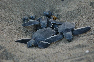 Green turtle hatchlings Crawling or normal terrestrial locomotion,Locomotion,Habitat,Species in habitat shot,Young,Chordates,Chordata,Reptilia,Reptiles,Turtles,Testudines,Sea Turtles,Cheloniidae,Atlantic,mydas,Aquatic,Append