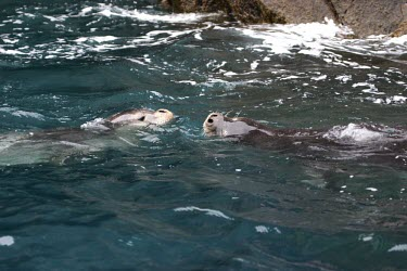 Female Mediterranean monk seals interacting Swimming,Adult,Adult Female,Locomotion,On top of water,Carnivores,Carnivora,Chordates,Chordata,Mammalia,Mammals,Phocidae,True Seals,monachus,Carnivorous,Terrestrial,Aquatic,Rock,Europe,Coastal,Monachu