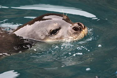 Close up of a Mediterranean monk seal Locomotion,Adult Male,Adult,On top of water,Swimming,Carnivores,Carnivora,Chordates,Chordata,Mammalia,Mammals,Phocidae,True Seals,monachus,Carnivorous,Terrestrial,Aquatic,Rock,Europe,Coastal,Monachus,