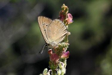 Adult Piedmont anomalous blue Endangered,Animalia,Polyommatus,IUCN Red List,Insecta,Flying,Terrestrial,Lepidoptera,Lycaenidae,Fluid-feeding,Arthropoda,Europe