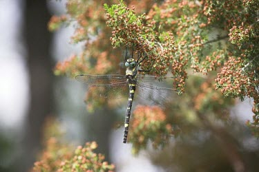 Female shining macromia dragonfly Aquatic,Insecta,Animalia,Odonata,Europe,Flying,splendens,Macromia,Corduliidae,Terrestrial,Ponds and lakes,Arthropoda,Vulnerable,Carnivorous,Streams and rivers,IUCN Red List