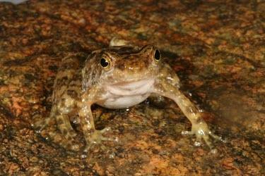 Eungella torrent frog camouflaged against rock Adult,Camouflage,Survival Adaptations,Terrestrial,Chordata,IUCN Red List,Forest,Australia,Animalia,Critically Endangered,Myobatrachidae,Anura,Sub-tropical,Amphibia,Taudactylus,Fresh water,Streams and