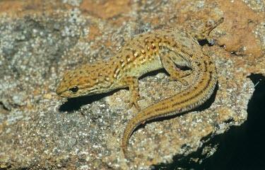 Lygodactylus mirabilis Adult,Grassland,Critically Endangered,Mountains,Chordata,IUCN Red List,Lygodactlyus,Gekkonidae,Terrestrial,Squamata,Africa,Reptilia,Animalia,Rock