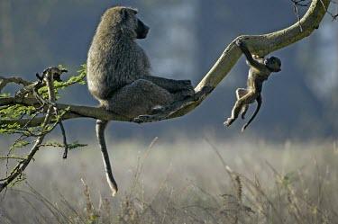 Yellow baboon with playful young Infant,Adult,Chordates,Chordata,Old World Monkeys,Cercopithecidae,Primates,Mammalia,Mammals,Omnivorous,Sub-tropical,Carnivorous,Savannah,Least Concern,Africa,Appendix II,cynocephalus,Animalia,Papio,Te