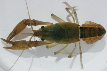 Croatan crayfish Arthropoda,Arthropods,Malacostracans,Malacostraca,Crayfishes,Cambaridae,Decapoda,Crayfish, Lobsters, Crabs,Aquatic,Procambarus,Temporary water,Least Concern,IUCN Red List,Fresh water,North America,Cru