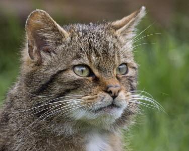 Scottish wildcat kitten 2 cat,feline,kitten,head,face,Scottish wildcat,Felis silvestris,British Wildlife Centre,Lingfield,Surrey,Captive,Wild cat,Chordates,Chordata,Mammalia,Mammals,Carnivores,Carnivora,Felidae,Cats,Chinese de