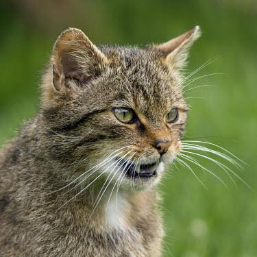 Scottish wildcat kitten 3 cat,feline,kitten,head,face,Scottish wildcat,Felis silvestris,British Wildlife Centre,Lingfield,Surrey,Captive,Africa,Desert,Grassland,Appendix II,Carnivora,Terrestrial,Carnivorous,Asia,Europe,Least C