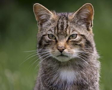 Scottish wildcat kitten 1 cat,feline,kitten,head,face,Scottish wildcat,Felis silvestris,British Wildlife Centre,Lingfield,Surrey,Captive,Africa,Desert,Grassland,Appendix II,Carnivora,Terrestrial,Carnivorous,Asia,Europe,Least C