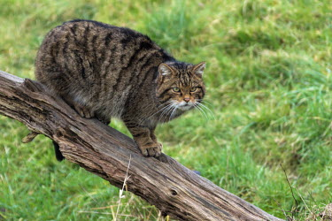 Scottish wildcat cat,feline,Scottish wildcat,Felis silvestris,female,British Wildlife Centre,Lingfield,Surrey,Captive