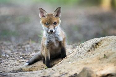 Red fox cub at den den,dogs,woodland,young,pup,cub,juvenile,Chordates,Chordata,Mammalia,Mammals,Carnivores,Carnivora,Dog, Coyote, Wolf, Fox,Canidae,Asia,Africa,Common,Riparian,Terrestrial,Animalia,vulpes,Omnivorous,Vulp