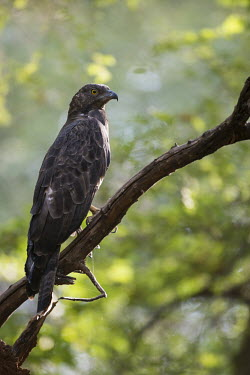 Crested honey buzzard perched on branch birds of prey,perched,perching,kites,Asia,Carnivorous,Aves,Rainforest,Least Concern,Animalia,Agricultural,Chordata,Temperate,Flying,Terrestrial,Sub-tropical,Pernis,Falconiformes,Accipitridae,ptilorhyn