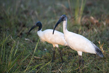 Black-headed ibises on grass ibis,two,Chordata,Near Threatened,Flying,Brackish,Temporary water,Streams and rivers,Grassland,Omnivorous,Tropical,Sub-tropical,Aves,Wetlands,Forest,Threskiornithidae,Arboreal,Aquatic,Ponds and lakes,