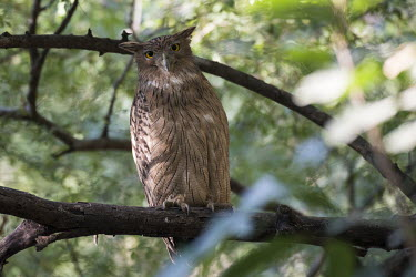 Brown fish-owl perched bird of prey,fish owl,brown fish owl,front view,tree,true owl,typical owl,branch,Chordates,Chordata,True Owls,Strigidae,Aves,Birds,Owls,Strigiformes,CITES,Ketupa,Forest,Appendix II,Temperate,Flying,IU