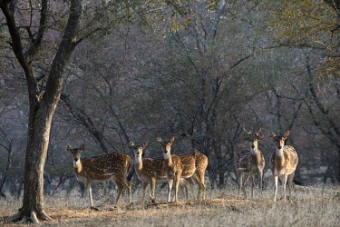 Group of Chital at edge of forest spotted deer,forest,group,herd,Chordates,Chordata,Mammalia,Mammals,Cervidae,Deer,Even-toed Ungulates,Artiodactyla,Asia,South America,Forest,Animalia,Axis,Grassland,Temperate,Europe,Scrub,Least Concern