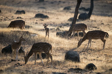 Chital deer grazing spotted deer,grazing,group,herd,Chordates,Chordata,Mammalia,Mammals,Cervidae,Deer,Even-toed Ungulates,Artiodactyla,Asia,South America,Forest,Animalia,Axis,Grassland,Temperate,Europe,Scrub,Least Concer