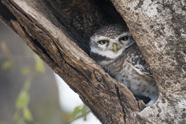 Spotted owlet in tree hollow owl,bird of prey,nests,Least Concern