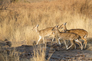 Chital on the move Spotted deer,group,walking,herd,Chordates,Chordata,Mammalia,Mammals,Cervidae,Deer,Even-toed Ungulates,Artiodactyla,Asia,South America,Forest,Animalia,Axis,Grassland,Temperate,Europe,Scrub,Least Concer
