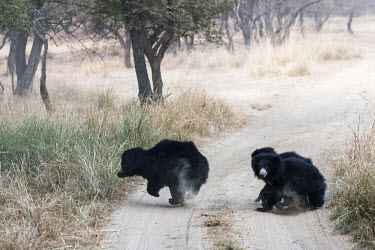Sloth bear mother and cubs crossing track bear,mother,female,cubs,young,track,walking,national park,Mammalia,Omnivorous,Scrub,Asia,Melursus,Animalia,Chordata,Appendix I,Seasonal/monsoon forest,ursinus,Terrestrial,Carnivora,Vulnerable,Grasslan