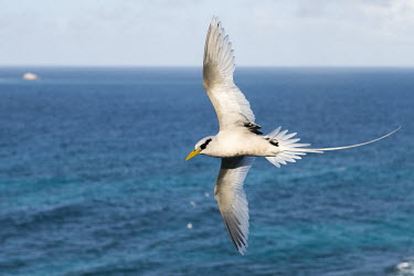 White-tailed tropicbird in flight above sea tropicbirds,Indian Ocean Islands,flight,flying,cut out,sky,flapping,Chordates,Chordata,Ciconiiformes,Herons Ibises Storks and Vultures,Phaethontidae,Tropicbirds,Aves,Birds,South America,Animalia,Coast