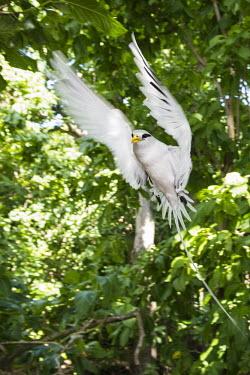 White-tailed tropicbird in flight Indian Ocean Islands,tropicbirds,flight,flying,endemic,Chordates,Chordata,Ciconiiformes,Herons Ibises Storks and Vultures,Phaethontidae,Tropicbirds,Aves,Birds,South America,Animalia,Coastal,Shore,Phae