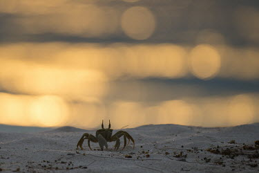 Horned ghost crab on beach at sunset beach,sunset,crab,landscape,sand