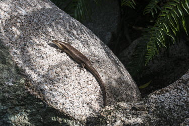 Wright's skink on granite boulder skink,reptile,Indian Ocean Islands,rock,boulder,Squamata,Africa,Animalia,Sub-tropical,Vulnerable,Trachylepis,Chordata,Tropical,Terrestrial,wrightii,Scincidae,Reptilia,IUCN Red List