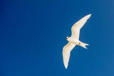 Fairy tern in flight tern,Indian Ocean Islands,portrait,seabirds,cut out,blue,gliding,sky,ventral view,flying,flight,Ciconiiformes,Herons Ibises Storks and Vultures,Laridae,Gulls, Terns,Aves,Birds,Chordates,Chordata,Asia,