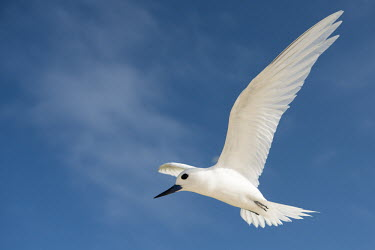 Fairy tern in flight tern,Indian Ocean Islands,portrait,seabirds,cut out,blue,gliding,sky,ventral view,flying,flight,close up,Ciconiiformes,Herons Ibises Storks and Vultures,Laridae,Gulls, Terns,Aves,Birds,Chordates,Chord