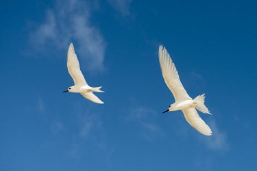 Fairy terns in flight pair,tern,Indian Ocean Islands,portrait,seabirds,cut out,blue,gliding,sky,ventral view,flying,flight,formation,Ciconiiformes,Herons Ibises Storks and Vultures,Laridae,Gulls, Terns,Aves,Birds,Chordates