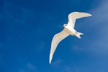 Fairy terns in flight tern,Indian Ocean Islands,portrait,seabirds,cut out,blue,gliding,sky,ventral view,flying,flight,Ciconiiformes,Herons Ibises Storks and Vultures,Laridae,Gulls, Terns,Aves,Birds,Chordates,Chordata,Asia,